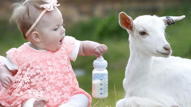 فوائد حليب الماعز للرضع وأفضل أنواعه